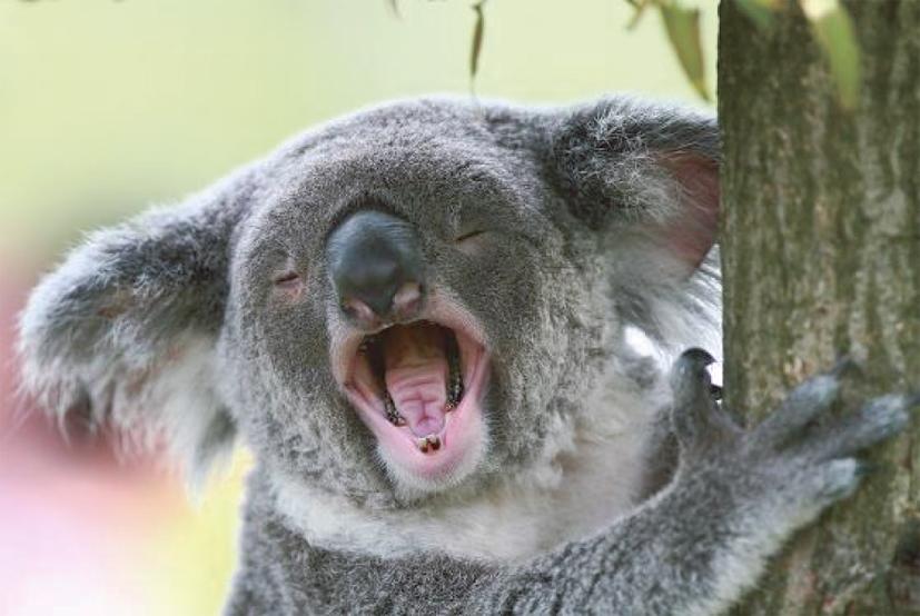 コアラの歯