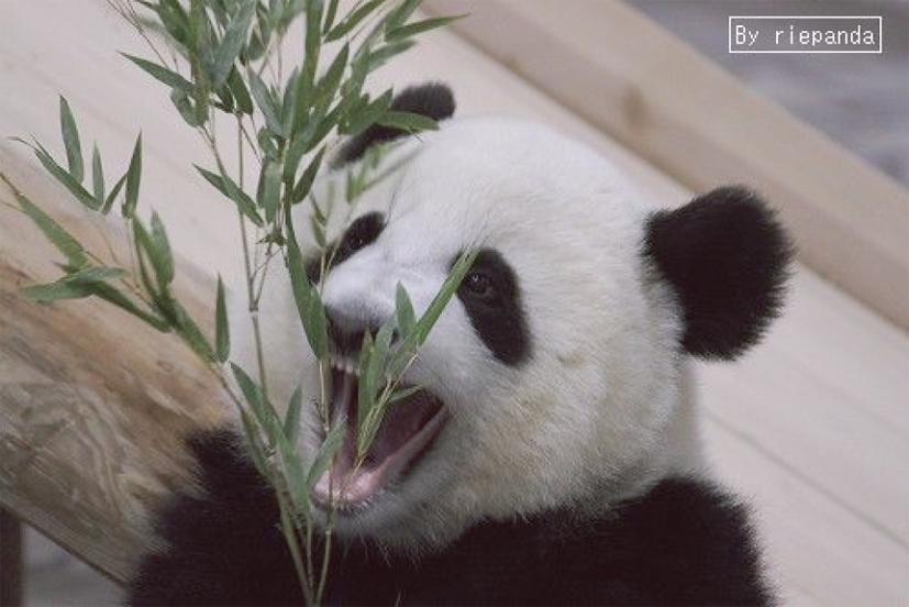 パンダの歯