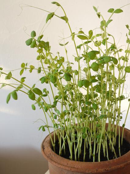豆苗鉢植え新